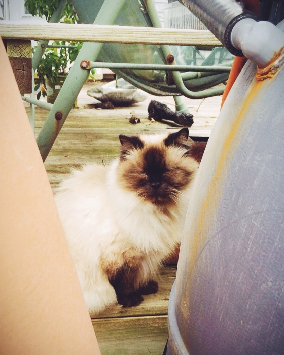 "My Aunt and Uncle's beautiful Persian cat peering at us being some garden pots. Reminded me of the cat from Beatrix Potter's ""Benjamin Bunny"" story :)"